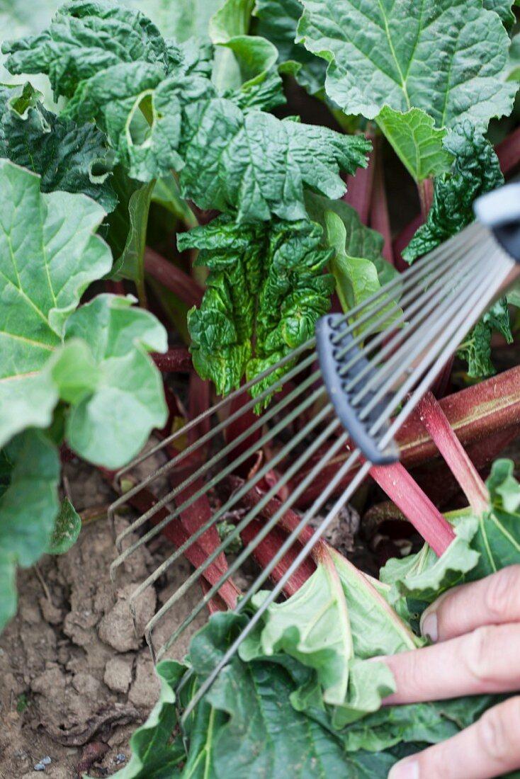 Rhubarb in garden (close-up)