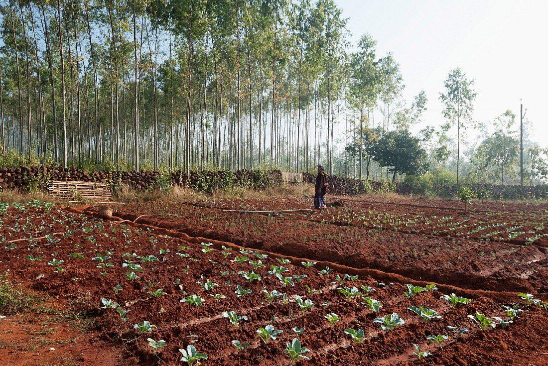 A woman working in a field in Koraput (Odisha, India)