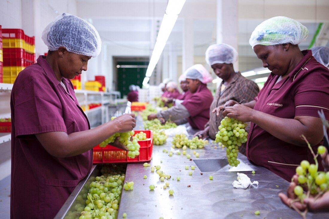 Arbeiterinnen bereiten Tafeltrauben zum Verpacken vor