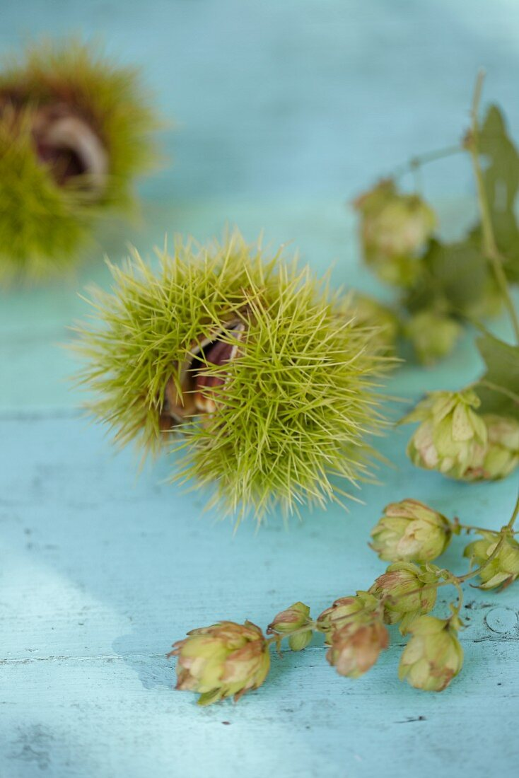 Chestnuts in shells and sprigs of hops