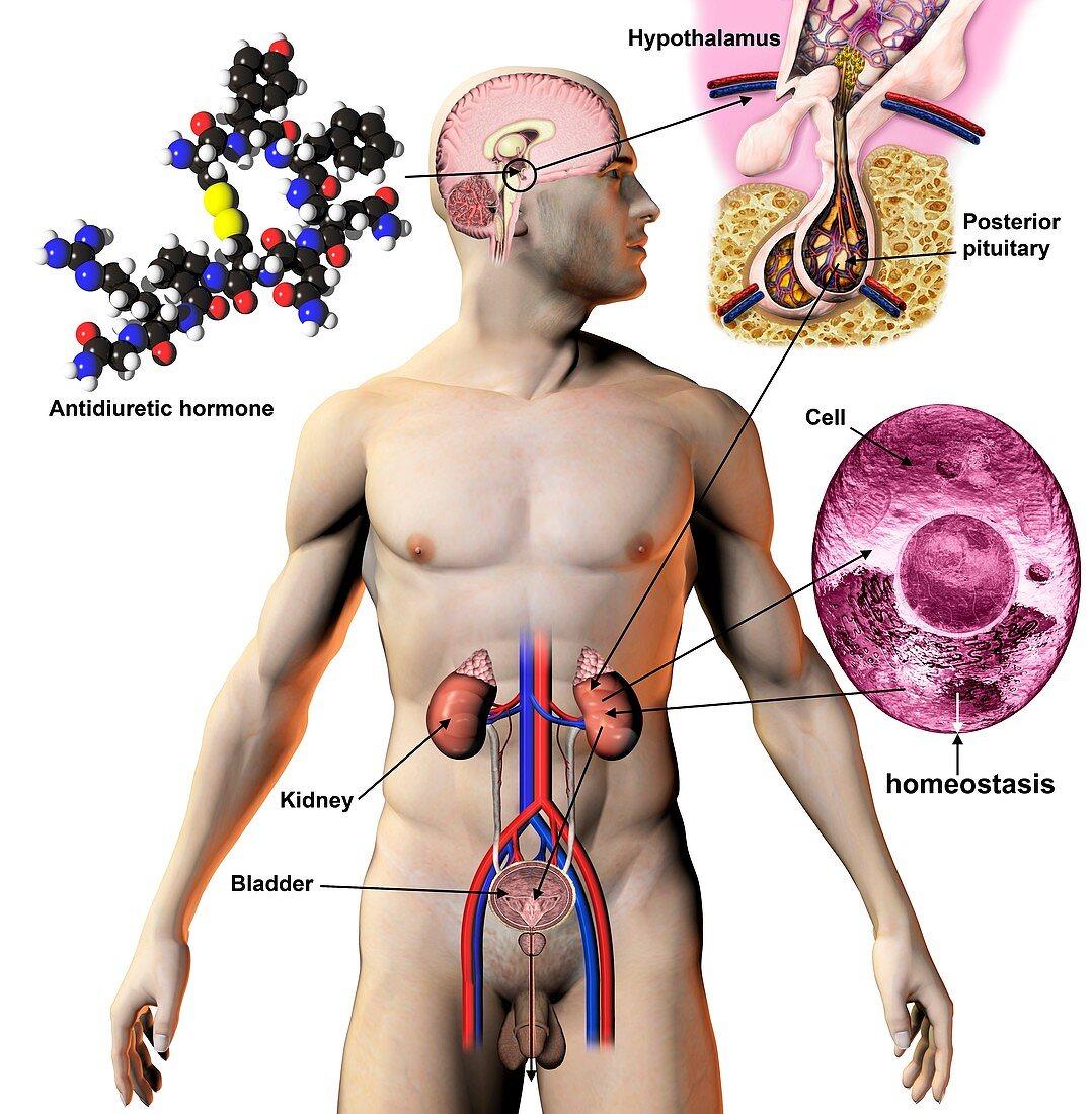 Antidiuretic hormone,illustration