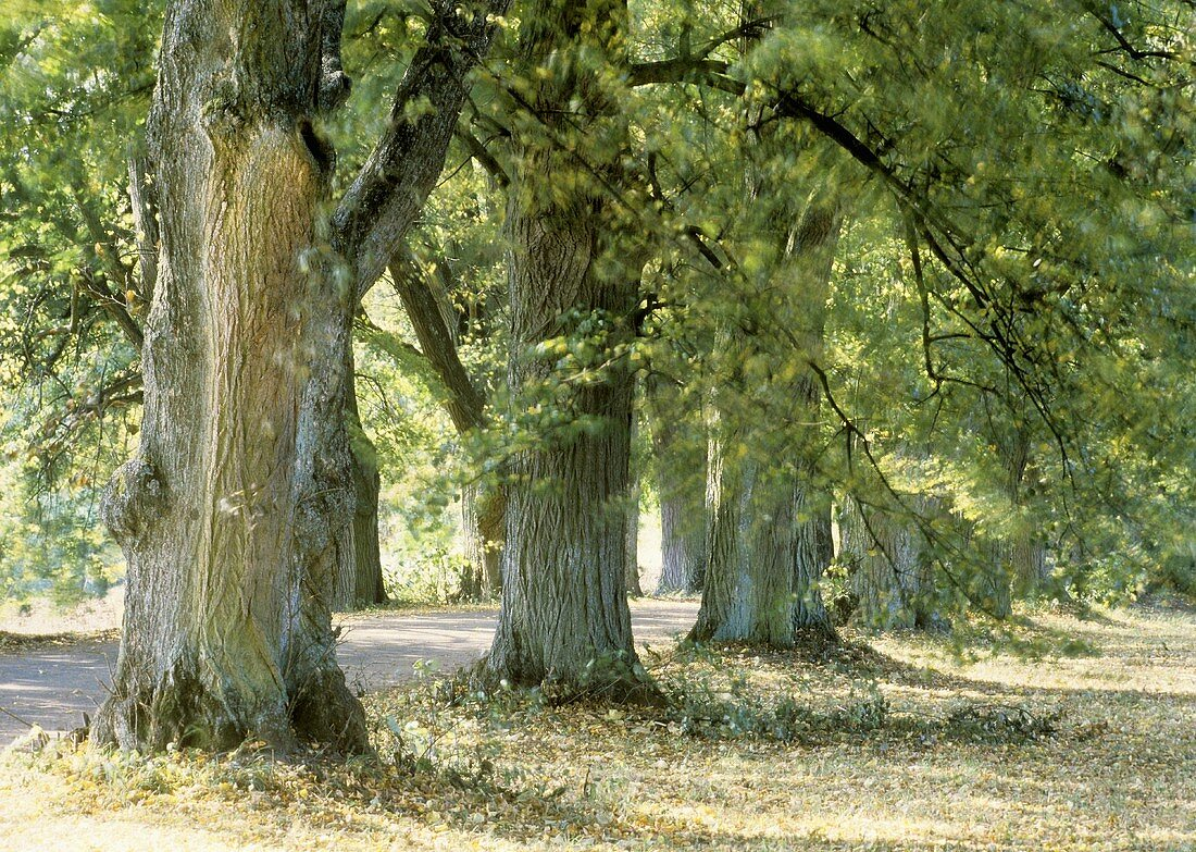 Avenue of limes
