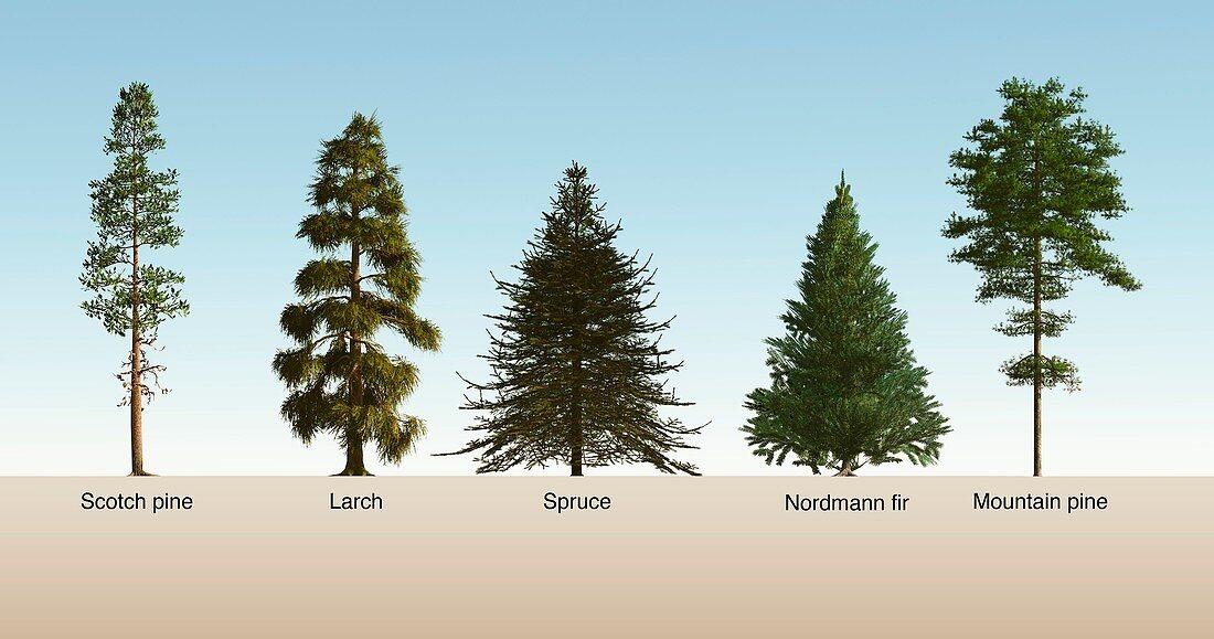 Softwood trees,illustration