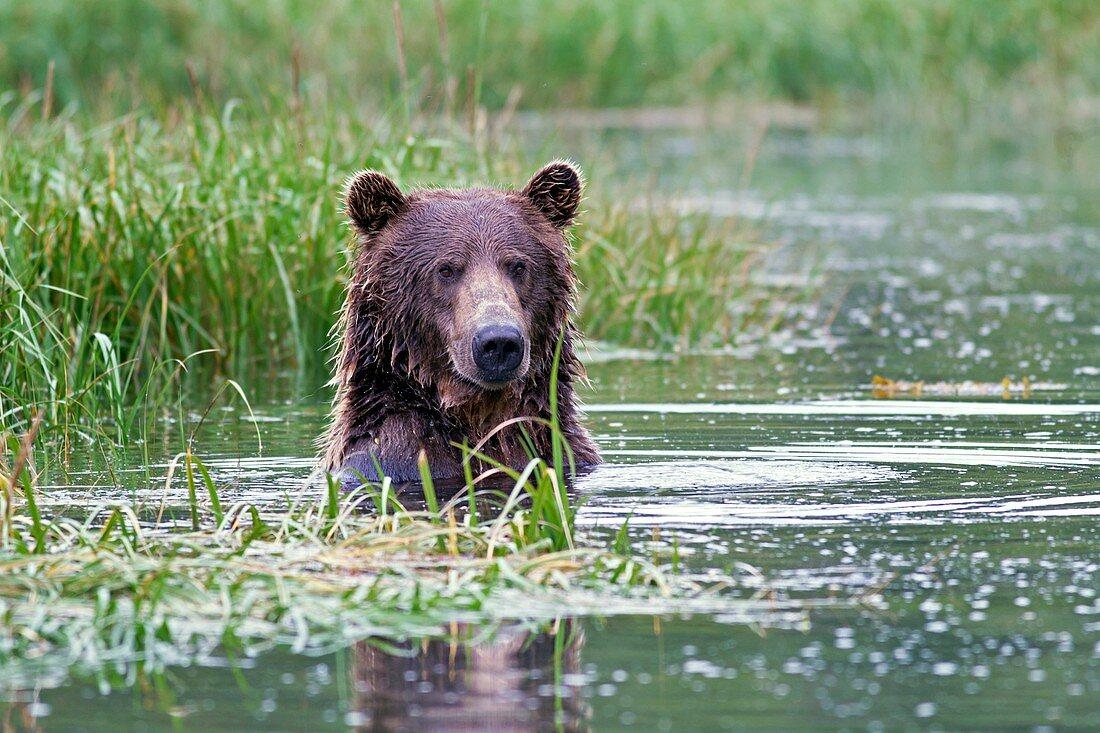 Brown bear swimming,Alaska,USA