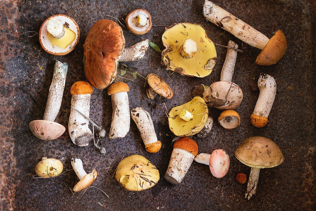 Variety of uncooked wild forest mushrooms yellow boletus, birch mushrooms and russules