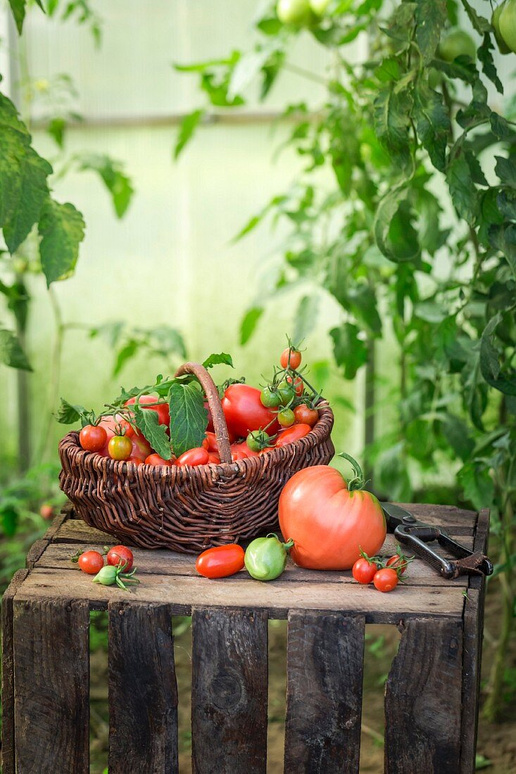 Assorted tomatoes in a wicker basket on wooden crate