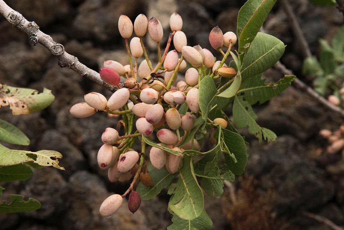 Ripe pistachios in the Bronte region in Sicily, Italy