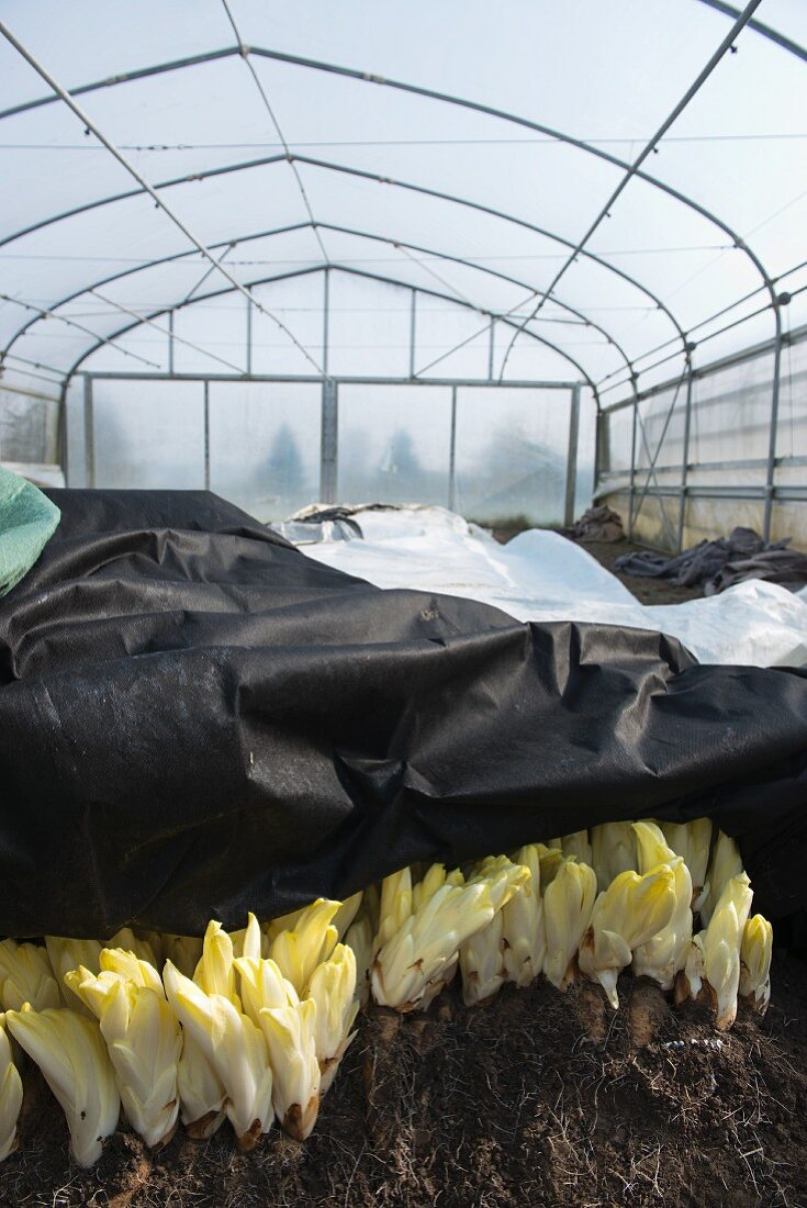 Chicory roots whiting out under light-blocking film in a greenhouse