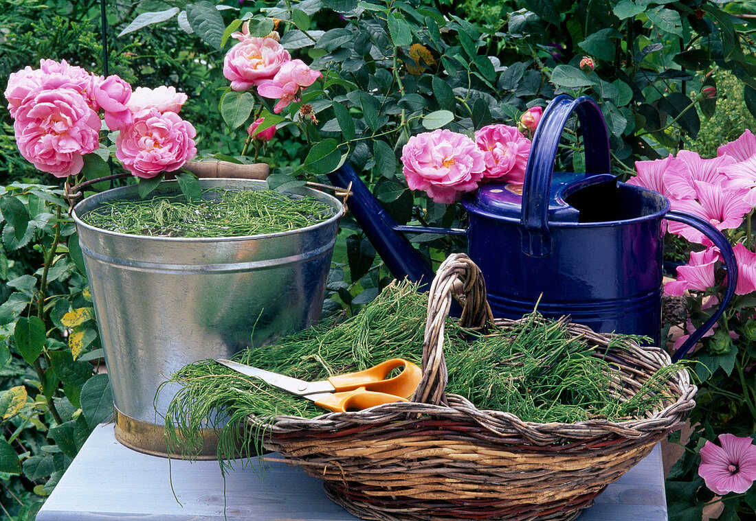 Making horsetail broth as a tonic for roses