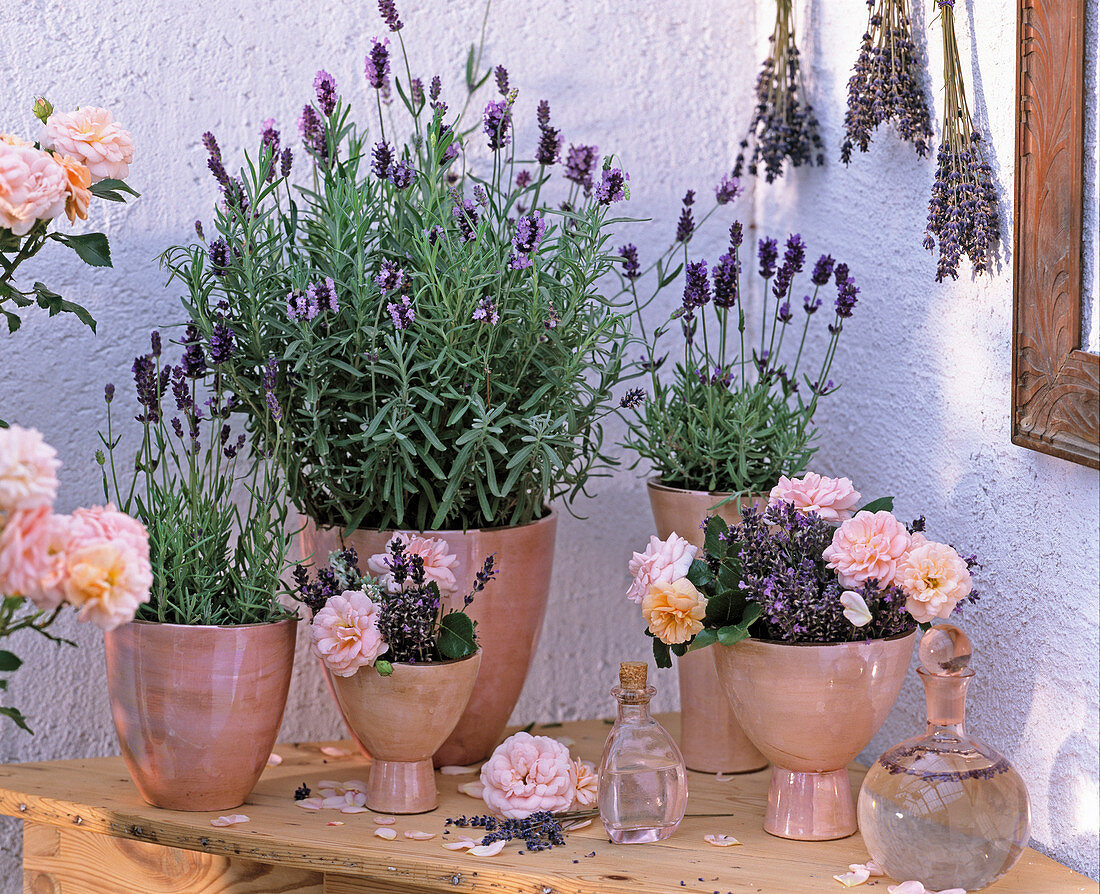 Lavandula 'Munstead', 'Hidcote Blue' (Lavender), Pink (Rose)