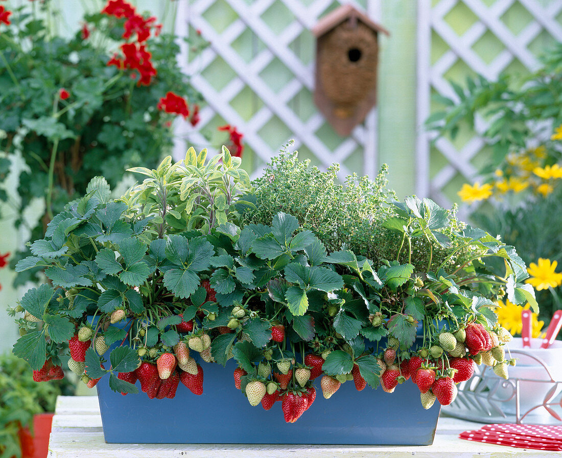 Fragaria (strawberries)