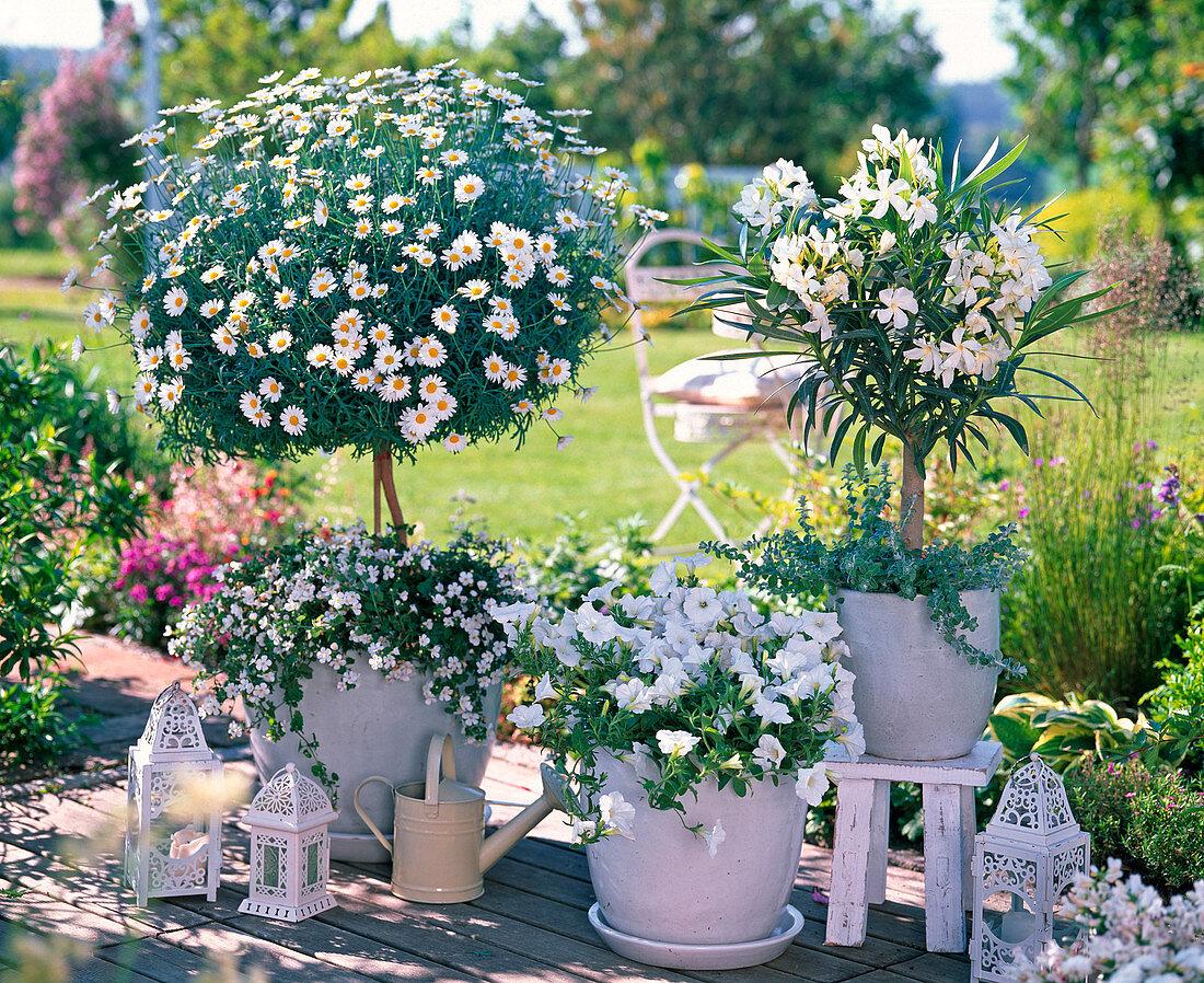 weiße Terrasse Argyranthemum 'Stella … – Bild kaufen – 20 ...