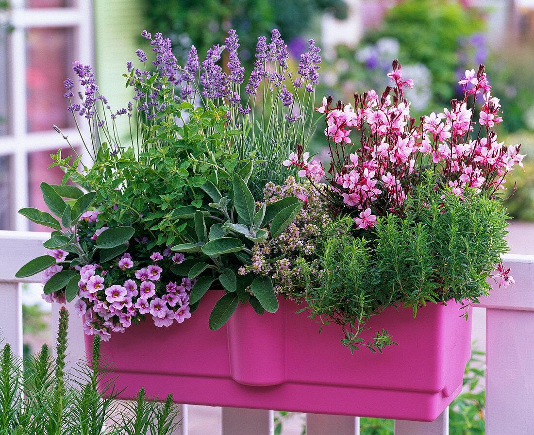 Lavandula (lavender), Salvia officinalis (sage), Origanum