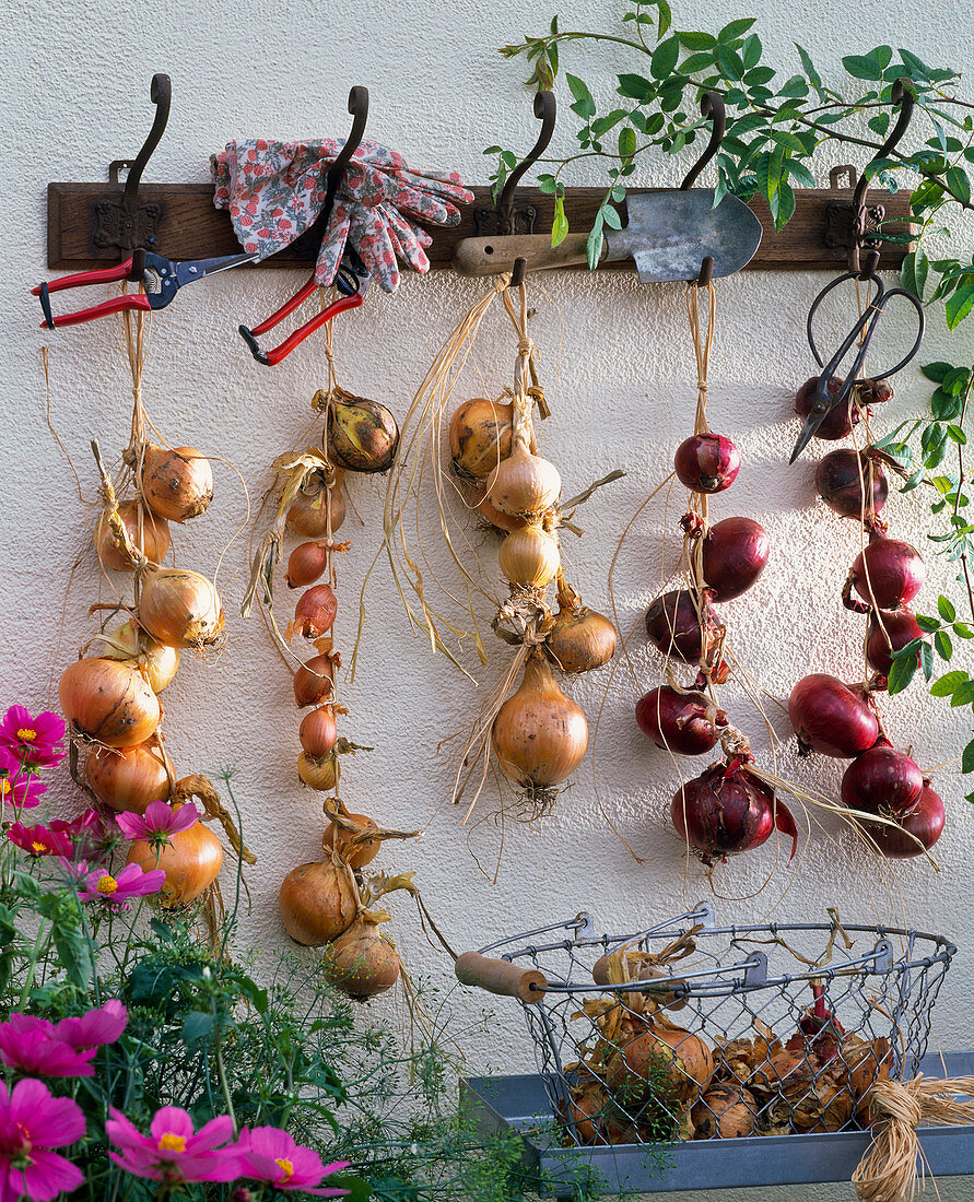 Allium for drying at the wardrobe