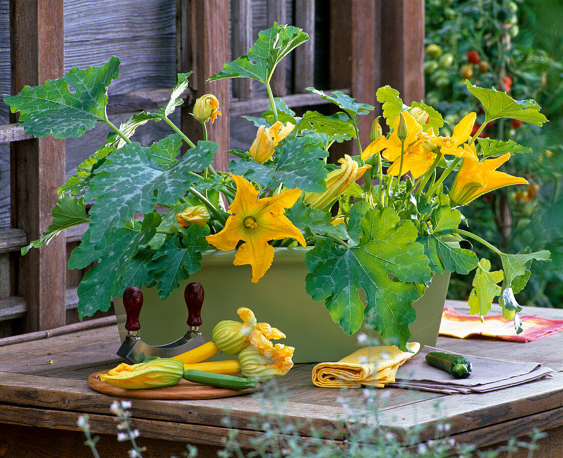 Cucurbita (courgette) blooming in the balcony box