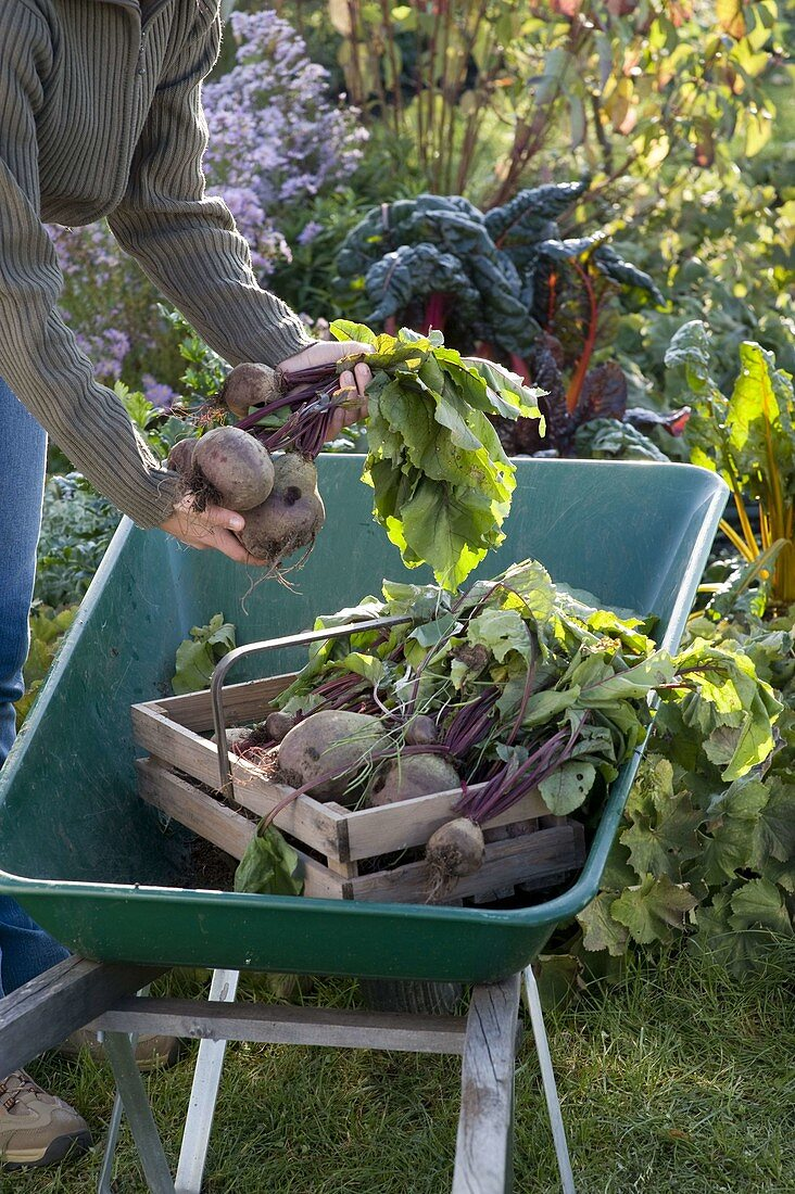 Young woman harvesting beets