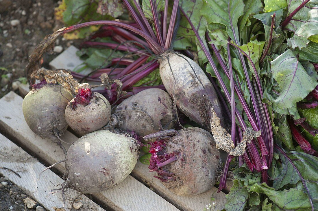 Freshly picked beetroot with and without stems and leaves