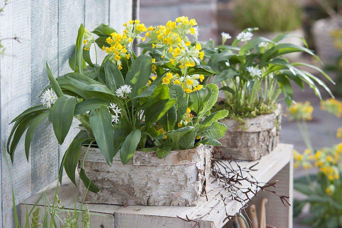 Wild garlic (Allium ursinum) and primula veris (bowl flower)