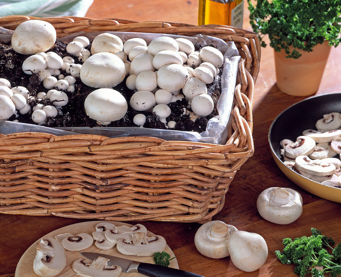 Mushroom cultivation in the room, mushroom tea