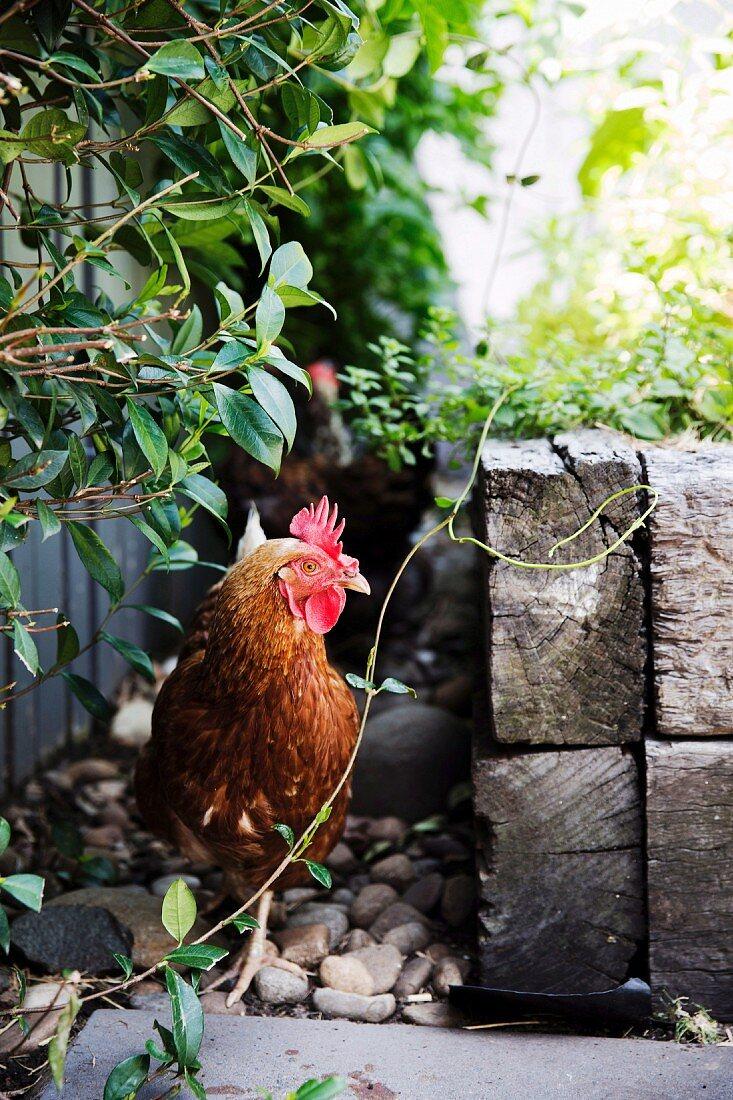 Chicken hiding in the garden