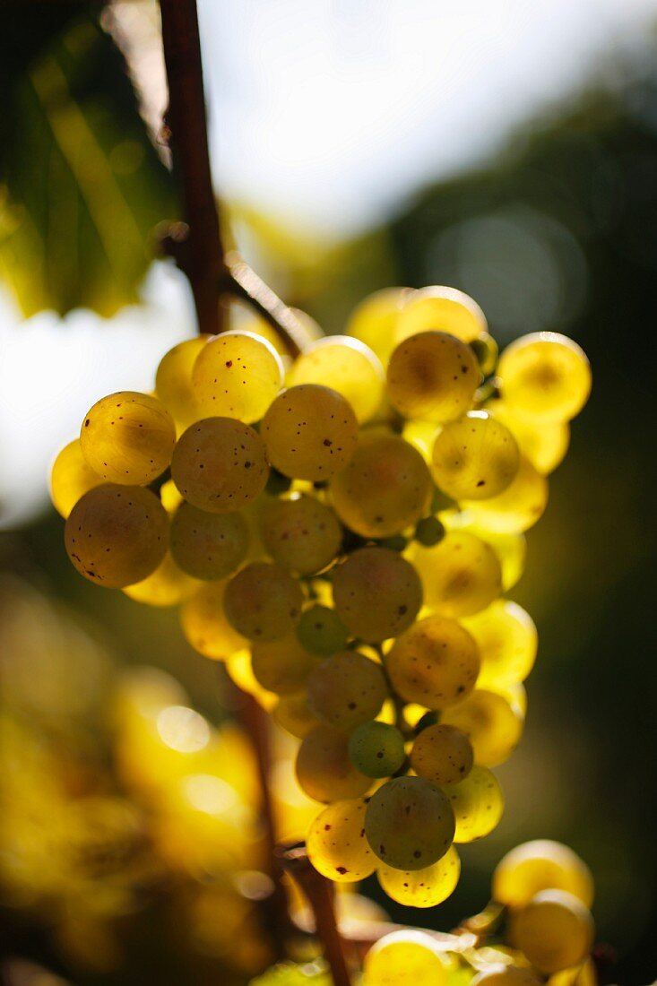 White wine grapes on the vine at the Peter Jakob Kühn winery in the Rheingau region of Germany