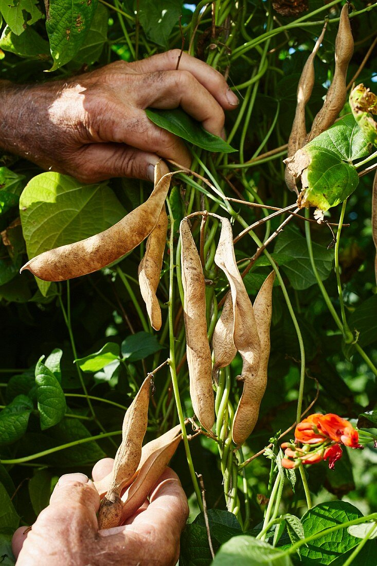 Kidney-shaped Scarlet Runner beans (Phaseolus coccineus) being harvested