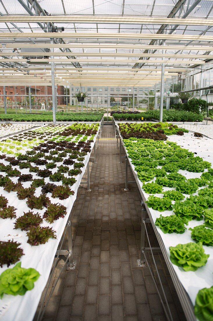 Lettuce growing on the ECF Farm in Berlin, Germany