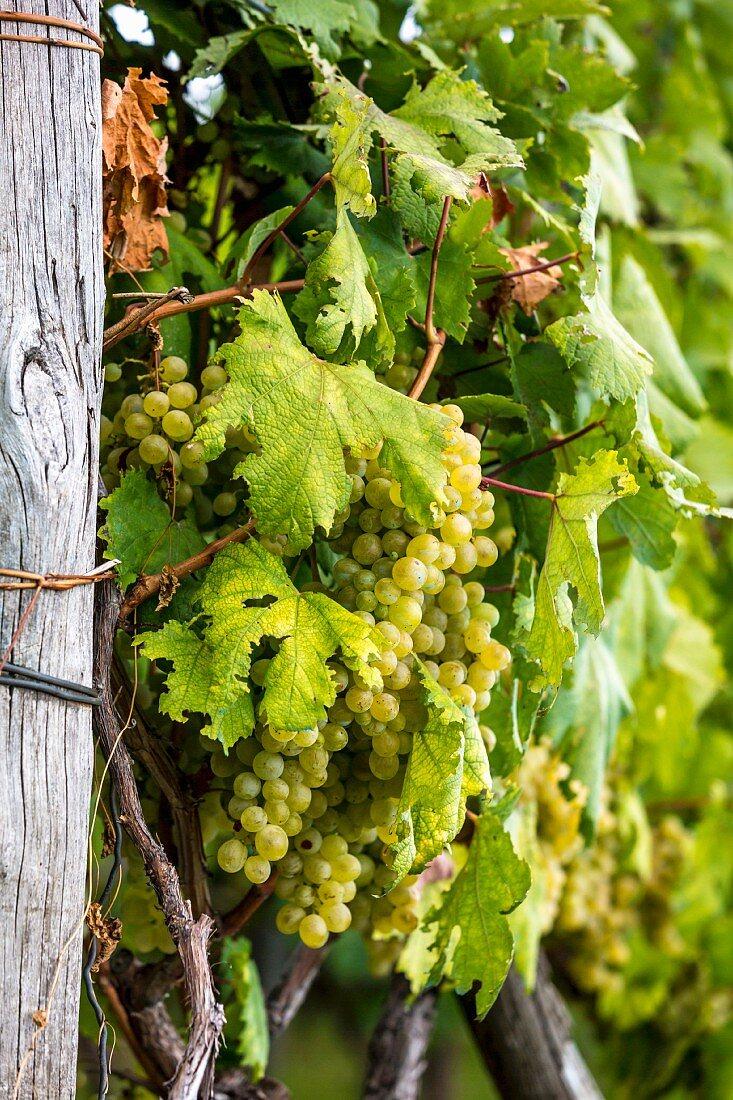 Weintrauben am Rebstock, Amalfiküste, Italien