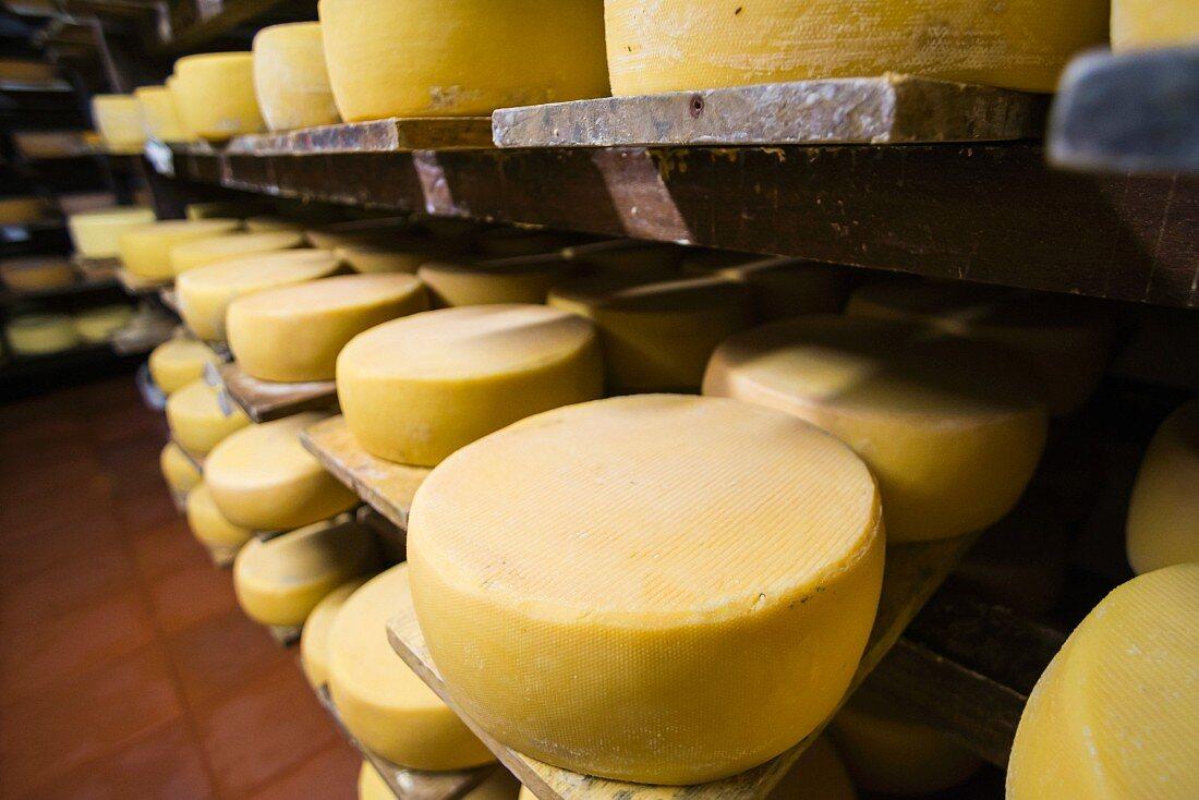 Wheels of cheese in a ripening cellar (Imbabura, Ecuador)