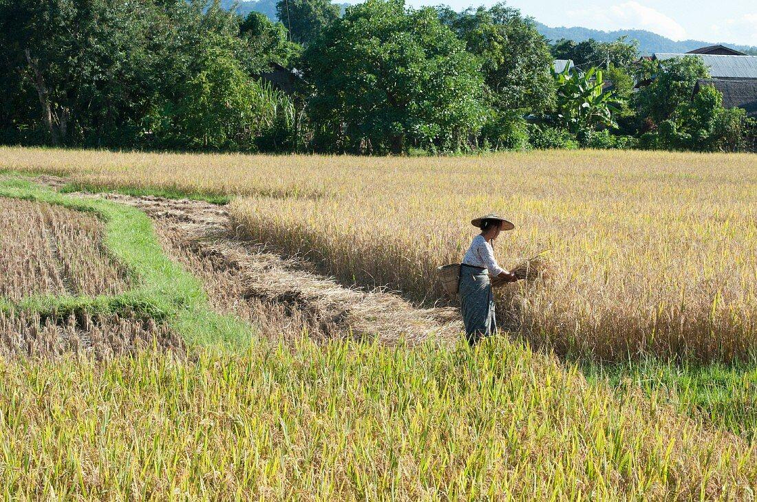 A woman in a rice paddy harvesting rice (Myanmar, Burma)