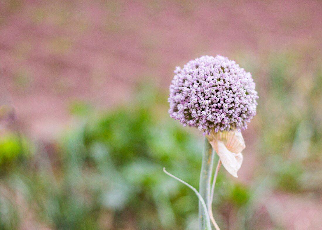 An onion flower (close-up)