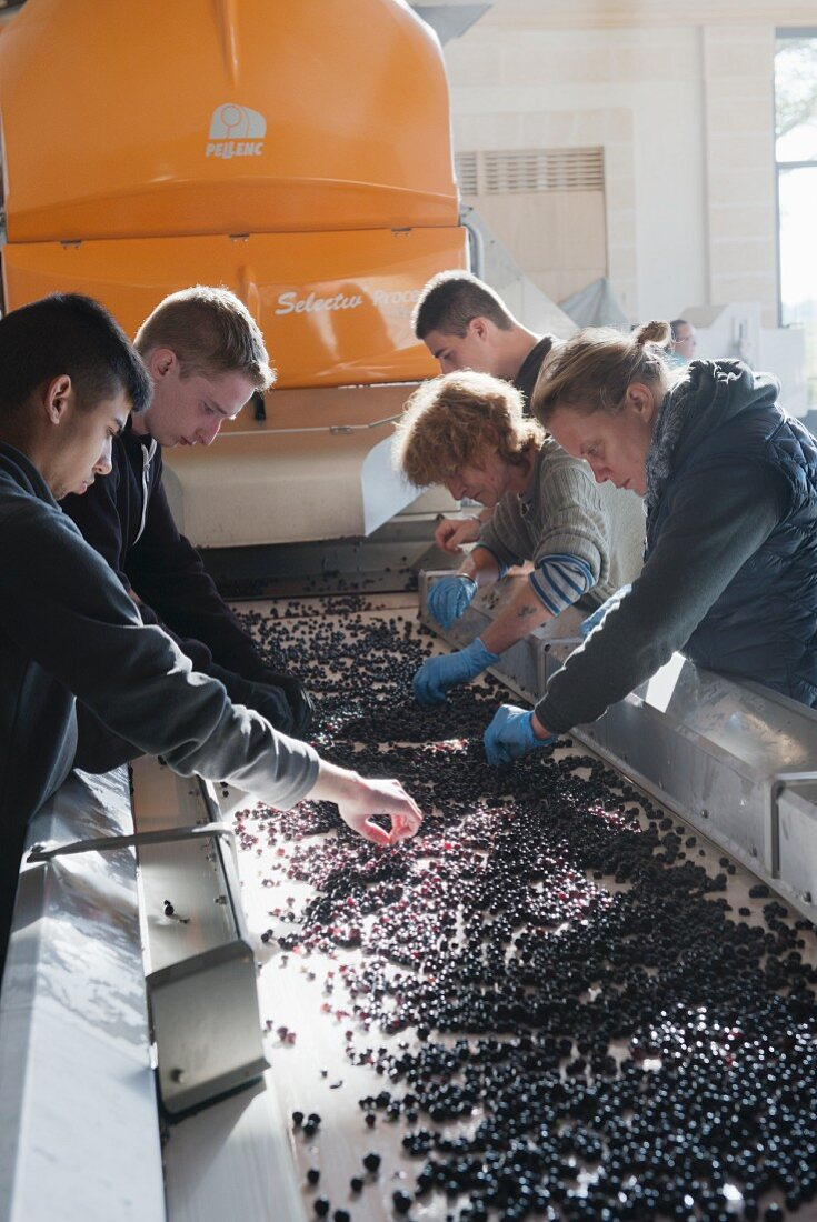 Grapes being manually sorted to check quality (Pomerol, Bordeaux, France)