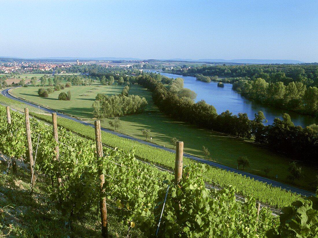 Summer vineyard near Kitzingen Main in Lower Franken
