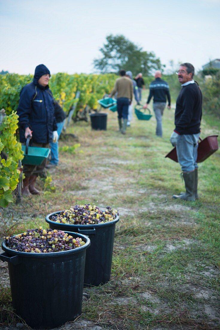 Grape harvest at Chateau Lafaurey Peyrageuy