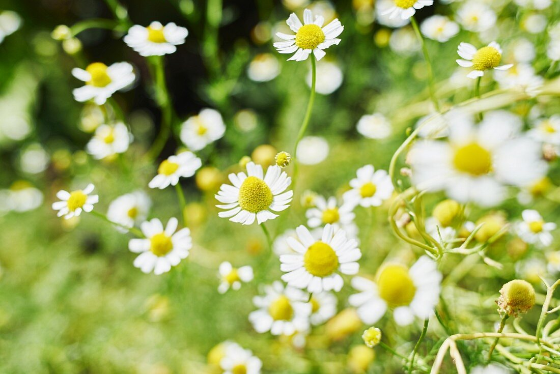 Flowering camomile in a garden (close-up)