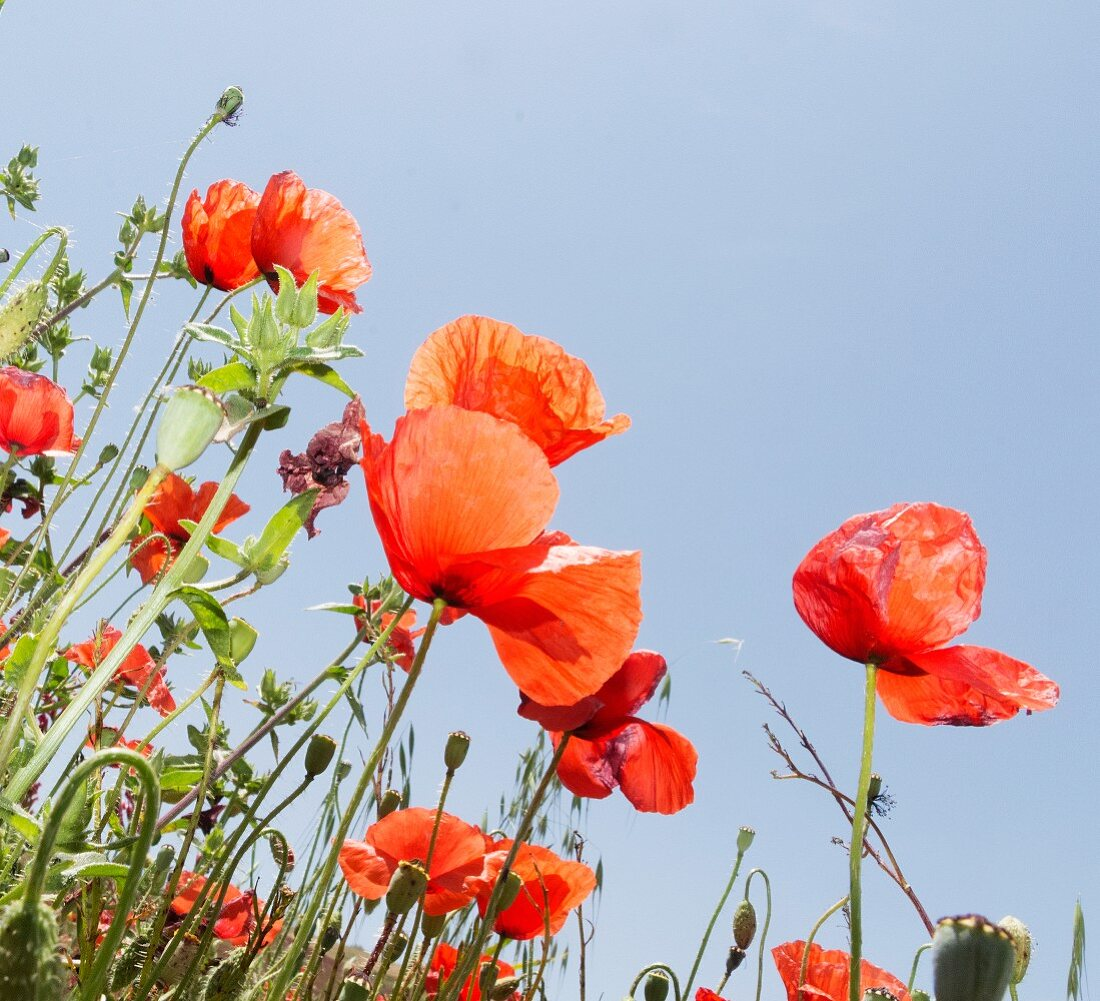 Poppies against blue sky