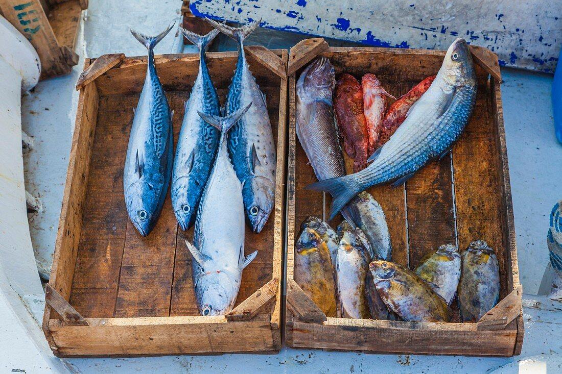 Frisch gefangene Fische in Holzkiststen am Hafen (Rhodos, Griechenland)