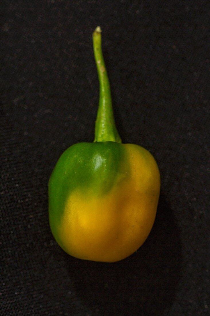 A yellow Habanero chilli pepper