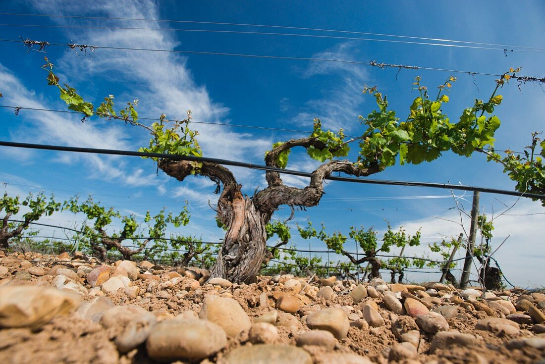 Old vines planted using the gobelet training system surrounded by wire frames with irrigation (Javier Sanz, Rueda, Spain)