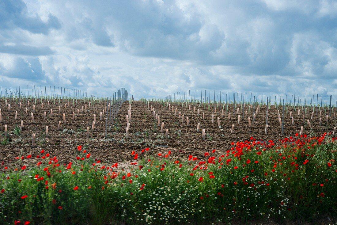 Vines being replanted in a flat field (Rueda, Spain)