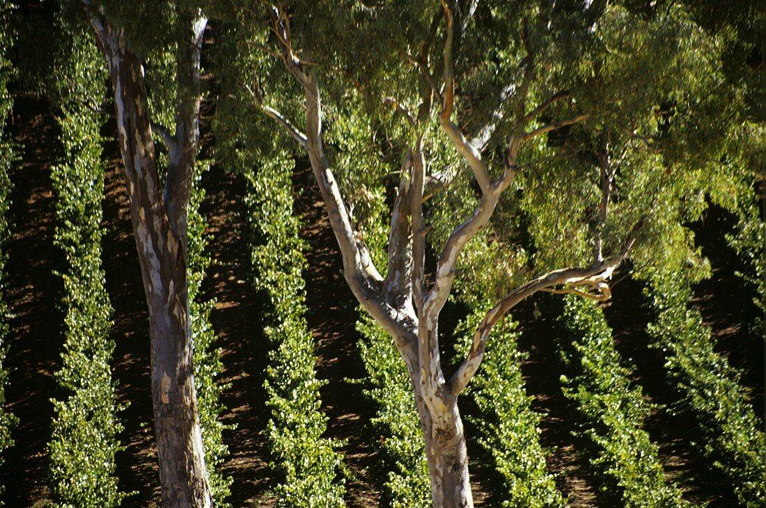 Rubber trees in front of vineyard, Adelaide Hills, Australia