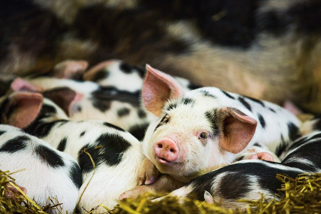 Several piglets with black patches in a stall in Gloucestershire, England