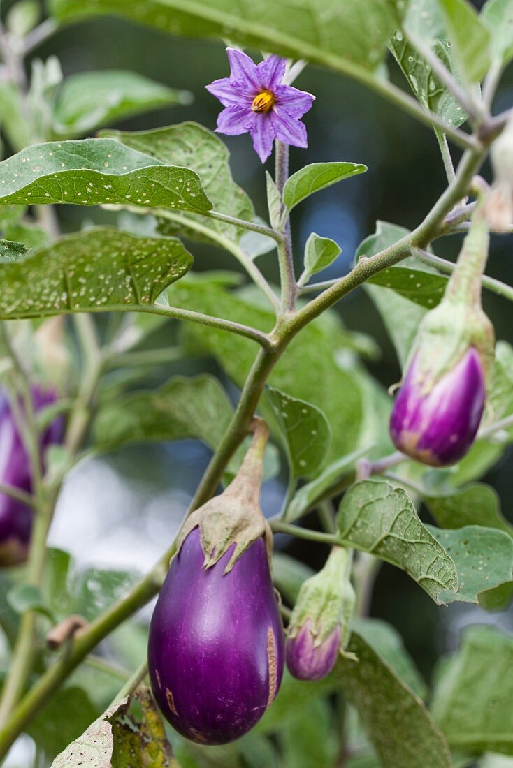 An aubergine plant with flowers and fruits