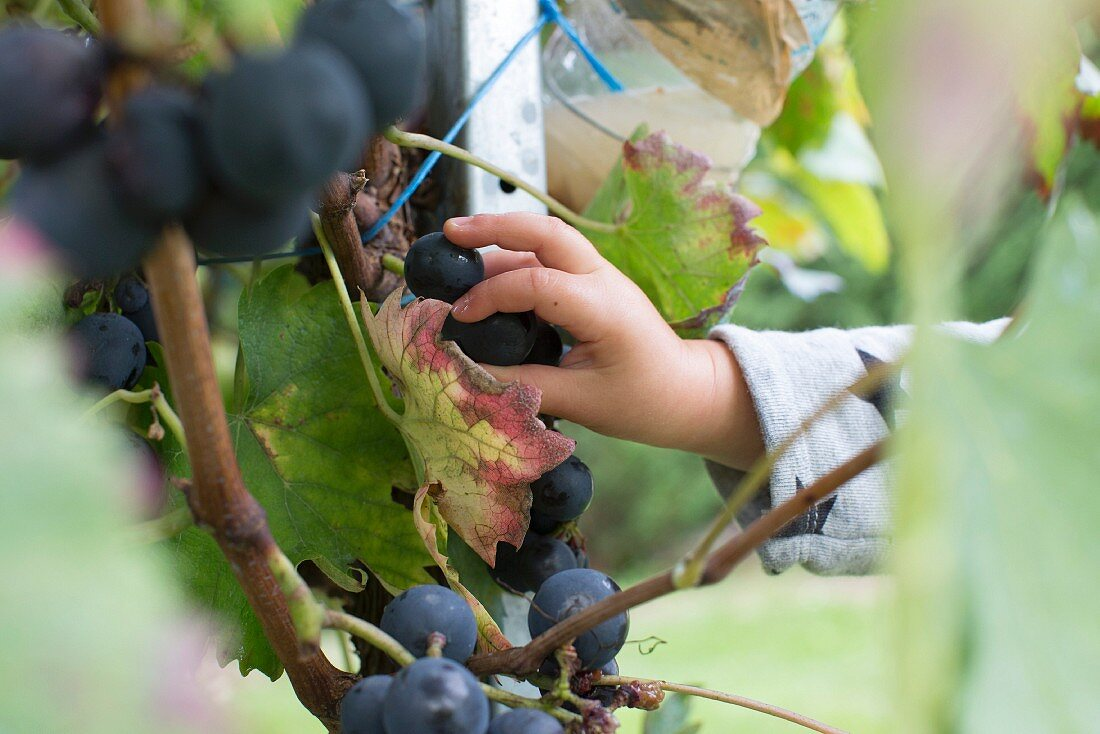 A child picking grapes from a vine
