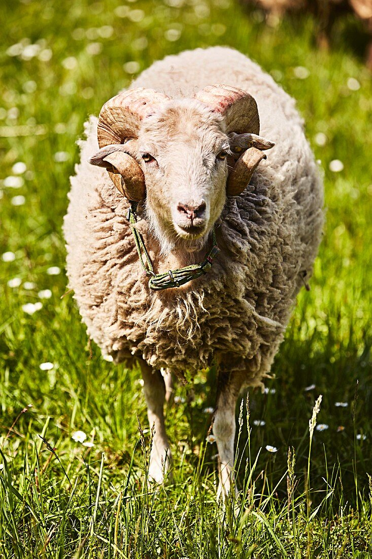 A sheep on the pasture