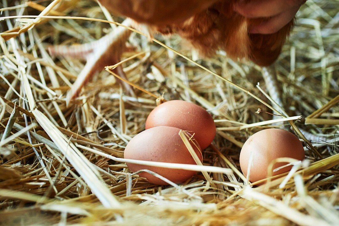 Freshly laid organic eggs in straw