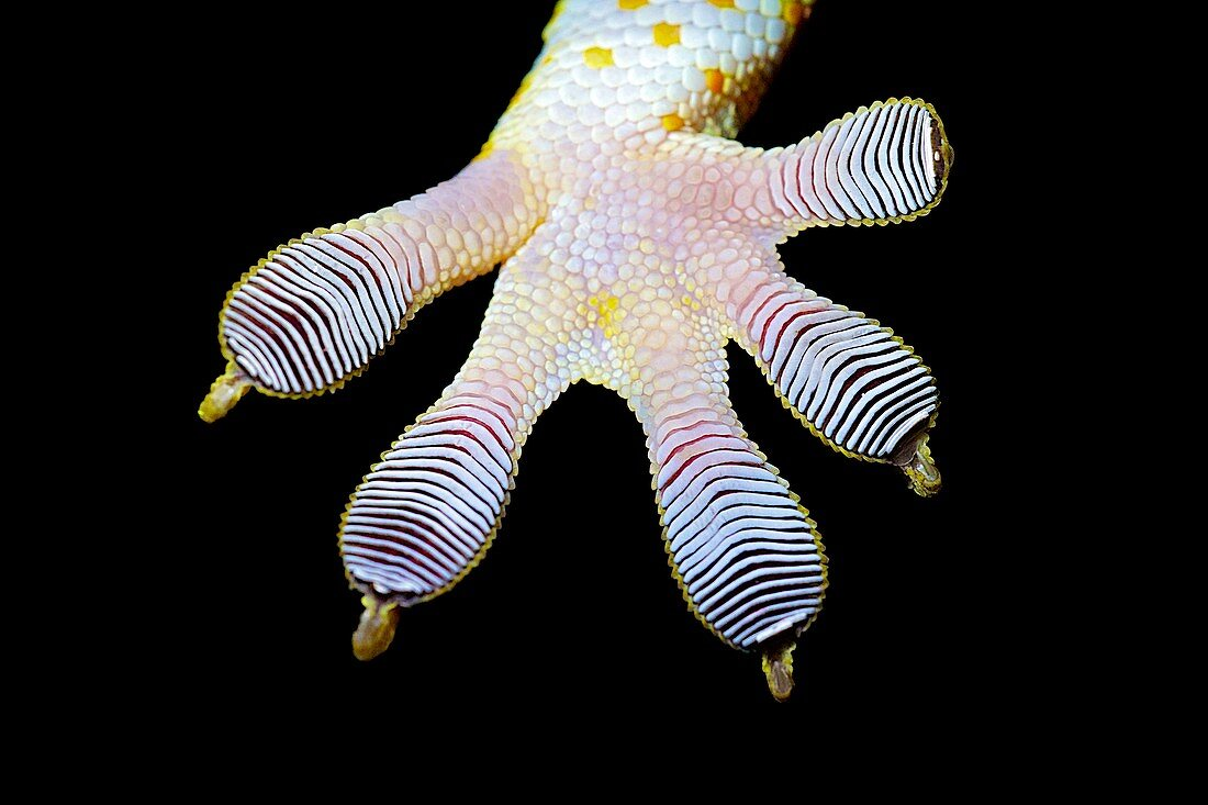 Tokay gecko's foot