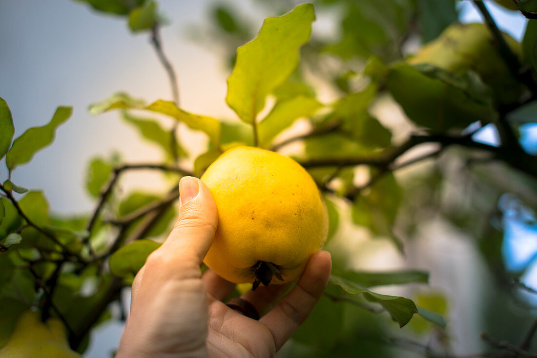 A hand pulling a pear quince off a tree