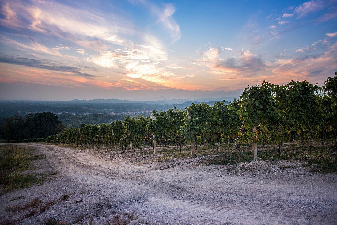 Vineyard at Sunset, Gattinara, Piedmont, Italy
