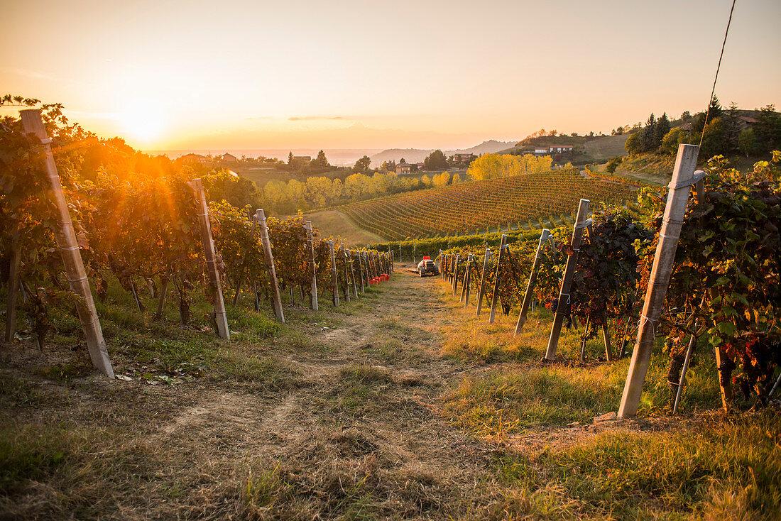Vineyard at Sunset, Monforte d'Alba, Piedmont, Italy